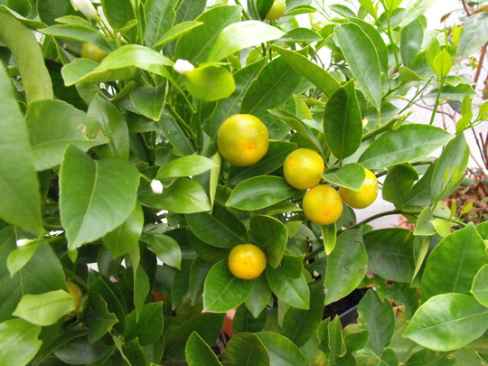 Oranges.............loads of them.....