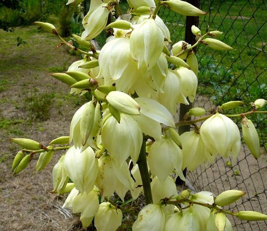 Yucca flower (Yucca filamentosa (Adam's needle))