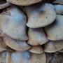 Huge Mushroom Cluster in Shrubbery