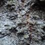 Lichen in Populus alba Bark