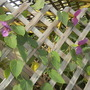 Dalechampia dioscoreifolia - Purple Wings Vine Flowers (Dalechampia dioscoreifolia - Purple Wings Vine)