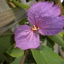 Dalechampia dioscoreifolia - Purple Wings Vine Flower (Dalechampia dioscoreifolia - Purple Wings Vine)