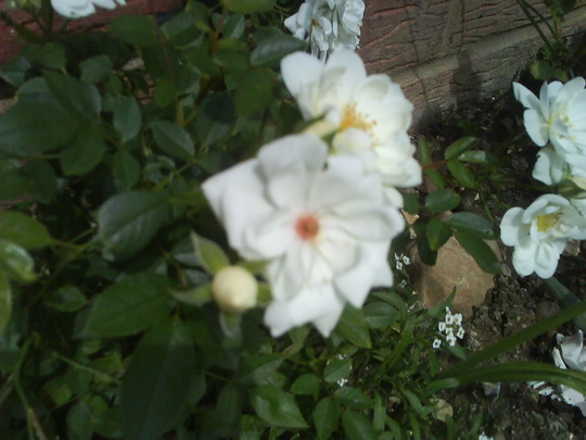 Rambler Rose (Rosa filipes (Rambler rose))