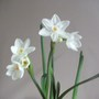 Narcissus Paperwhite only planted on 11 -11 -11  (Narcissus Paperwhite)