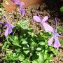 Viola cornuta 'Spider'  (Viola cornuta 'Spider')