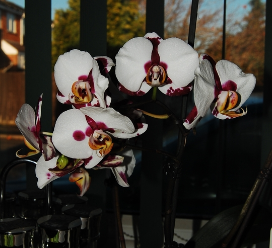 Phalaenopsis Yu Pin Pearl (Orchid)