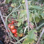 Outdoor tomatoes....
