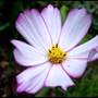 Cosmos (Cosmos bipinnatus (Cosmos))
