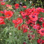 Poppies21.8