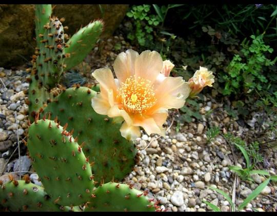 cactus flowering in front garden in June 2011 (Opuntia compressa (Eastern Prickly Pear))