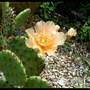 cactus flowering in front garden in June 2011 (Opuntia compressa (Eastern Prickly Pear))