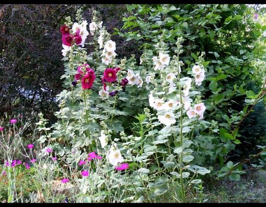 June hollyhocks (Alcea rosea (Black Hollyhock))