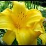 yellow lily in July (Hemerocallis)