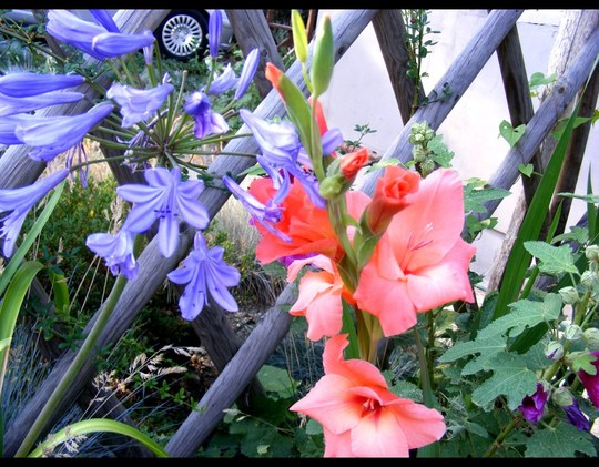agapanthus and glads. July. (Agapanthus africanus (African blue lily))