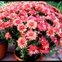 pot of chrysanths in August (Chrysanthemum maximowiczii)