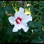 Hibiscus time in August (Hibiscus syriacus)