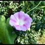 morning glory. August 2011 (Ipomoea purpurea (Morning glory))