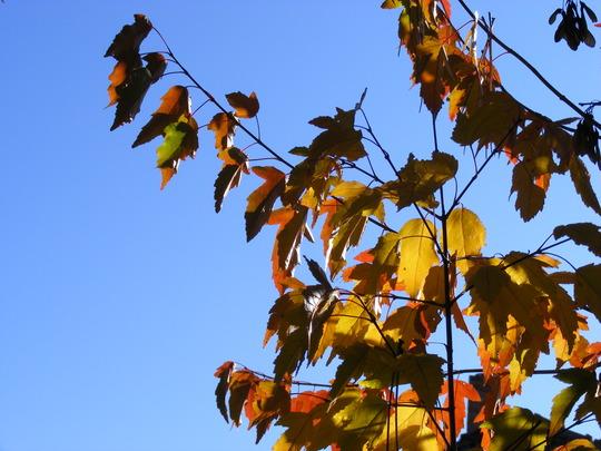 Amur maple in October (Acer ginnala)