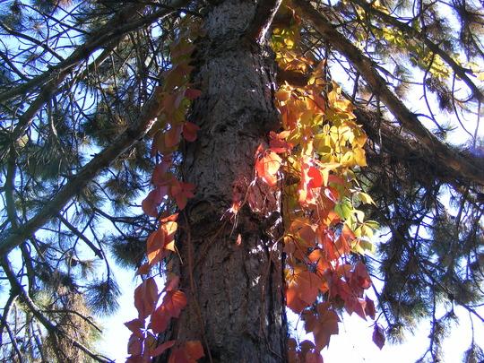Virginia creeper in October