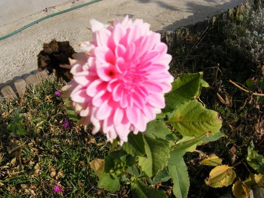 Pink dahlia in November