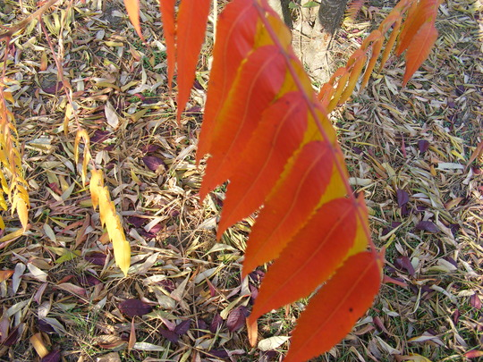 red leaves of Rhus sumach in November (Rhus typhina (Stag's horn sumach))