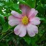 Camellia sasanqua (Camellia sasanqua)