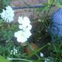 Rosa filipes (Rambler rose)