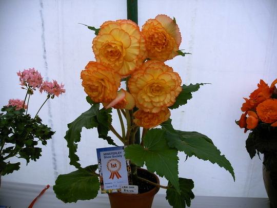 Begonia Can-Can (Begonia)
