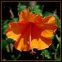 Hibiscus_nouveau