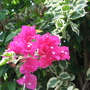 Early Summer in N.E. Downunder - variegated Bougainvillea blooming