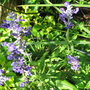 Early Summer in N.E. Downunder - Salvia farinacea 'Victoria Blue' (Salvia farinacea (Mealy sage))