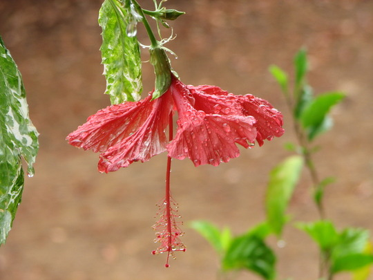 Early Summer in N.E. Downunder - Hibiscus rosa-sinensis in the rain (Hibiscus rosa-sinensis (Chinese Hibiscus))