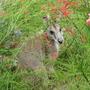 Early Summer in N.E. Downunder - Agile wallaby in hiding
