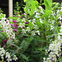 Early Summer in N.E. Downunder - Angelonia angustifolia 'Serena' series
