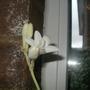 polianthes tuberosa  (Polianthes tuberosa)