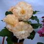Fred Martin ~ begonia. (Begonia)