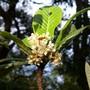 Loquat (Eriobotrya japonica)