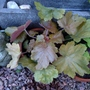 Today's additions...Heuchera 'Southern Comfort'