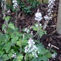 Tiarella 'Iron Butterfly' still flowering bravely!
