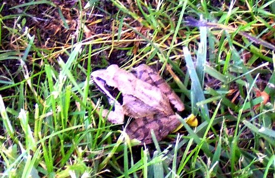 frog in grass in May 2011