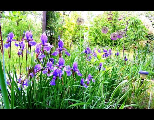Irises and allium in May (Allium aflatunense)