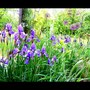 Irises and allium in May (Allium aflatunense)