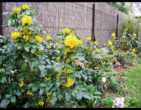 mahonia in side garden last April