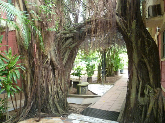 Ficus Archway