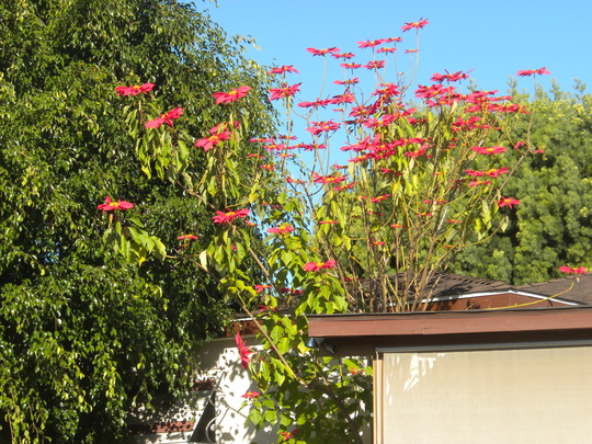 Euphorbia pulcherrima - Christmas Plants, Poinsettia (Euphorbia pulcherrima - Christmas Plants, Poinsettia)