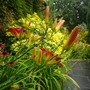 Hemerocallis Stafford and Echinacea 'Hot Summer'