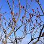Rhus Sumach in December. (Rhus typhina (Stag's horn sumach))