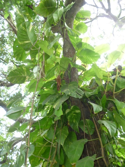 Philadendron going mad up Agia tree
