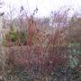red stemmed dogwood (Cornus Sibirica)