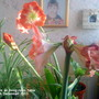 Amaryllis_on_living_room_table_06_12_2011